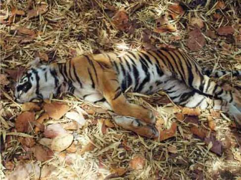 बांधवगढ़ : टाइगर रिजर्व में फंदे में फंसी मिली बाघिन