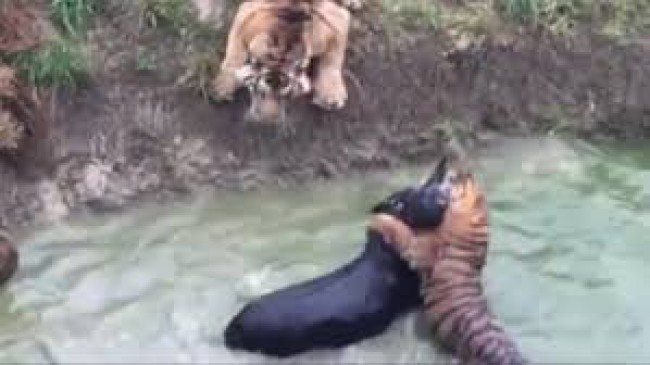 जिंदा गधे को फेंका भूखे बाघों के सामने, वीडियो देख हैरान हो जाएंगे