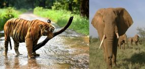 यहां खूंखार बाघिन को खोजने के लिए लगाई हाथी की ड्यूटी