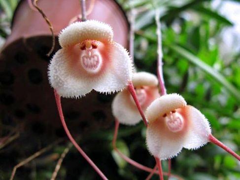 मुस्कुराते हुए मंकी की तरह नजर आता है ये अनोखा फूल
