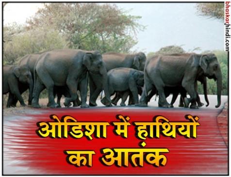 ओडिशा: मयूरभंज जिले के एक गांव में घुसे 70 हाथी, 20 एकड़ खेती नष्ट