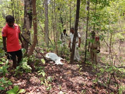 बाघ का निवाला बना मवेशी बचाने गया चरवाहा, घुनघुटी रेंज की घटना