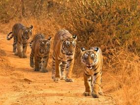 महाराष्ट्र में बाघों की संख्या दोहरे शतक की ओर, अगले साल पेश होगी रिपोर्ट