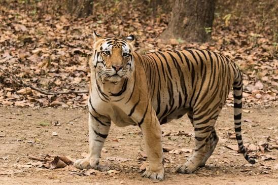 कान्हा नेशनल पार्क : मोचा गांव में बाघ का मूवमेंट, दहशत में ग्रामीण