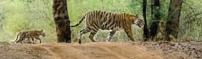 पश्चिम महाराष्ट्र में दहाड़ेंगे विदर्भ के बाघ,चांदोली नेशनल पार्क में बढ़ाई जाएगी टाईगर की संख्या