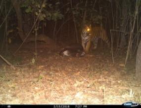 अंतर्राष्ट्रीय बाघ गणना : छिंडवाड़ा जिले के जंगल में 20 बाघ, 169 तेंदुए