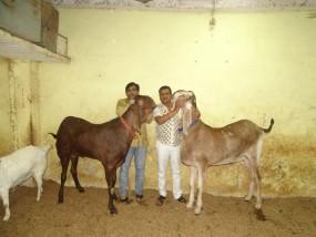 तीन इंसानों के बराबर हैं ये बकरे, किसी का वजन 180 तो किसी का 210 किलो