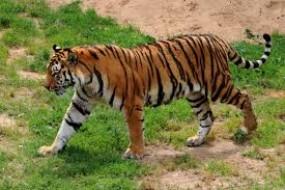 गांवों के आस-पास घूम रहे बाघ, मवेशियों का कर रहे शिकार