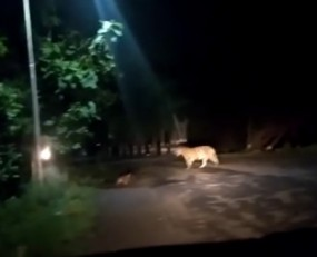 चंद्रपुर के CTPS में घूमने लगा है बाघों का कुनबा, लोग हुए खौफजदा