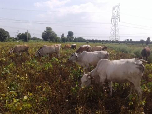 सूखने की कगार पर पहुंची सोयाबीन, खेतों में ट्रैक्टर चलाकर नष्ट कर रहे किसान