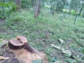 सवा पांच साल में काट दिए 2 लाख 34 हजार से ज्यादा सागौन पेड़, RTI में हुआ खुलासा