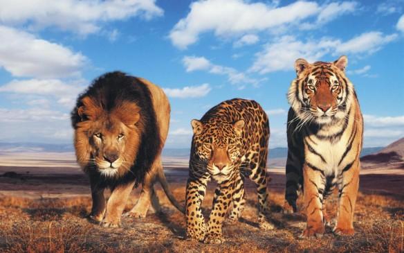 चंद्रपुर के जंगलों में आतंक मचा रखा है बाघ ने, ड्रोन कैमरे से रखी जा रही नजर