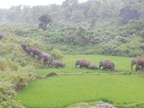 शहडोल जिले में घुसे छत्तीसगढ़ से आए 17 जंगली हाथी, लोगों में खौफ का माहौल