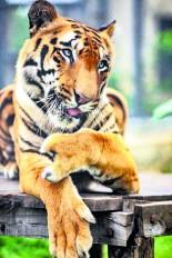 दुनिया में पहली बार किसी बाघ को लगाया जाएगा आर्टिफिशियल पंजा