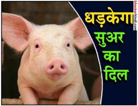 इंसान के सीने में लगाया जा सकेगा सुअर का दिल!