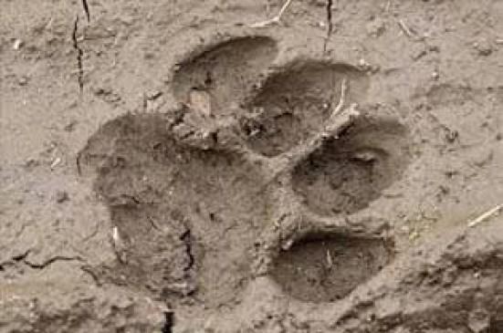 कॉरीडोर से सतना पहुंच गया बांधवगढ़ का टाइगर, उल्टे पैर भागे वनकर्मी