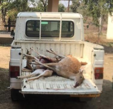 गोरेवाड़ा की फेसिंग से घुसकर तेंदुए ने किया 9 हिरणका शिकार
