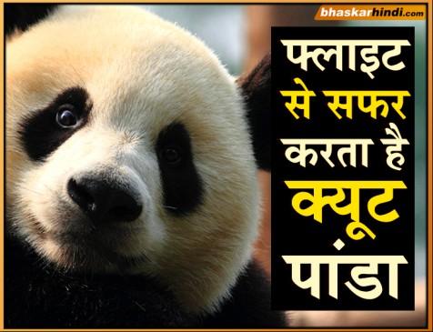 जानें क्या वजह है कि जो पांडा डायरेक्ट फ्लाइट से ही चीन जाते हैं