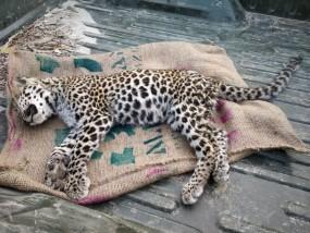 जहर देकर किया तेंदुआ का शिकार , मास्टरमाइंड व सहयोगी गिरफ्तार