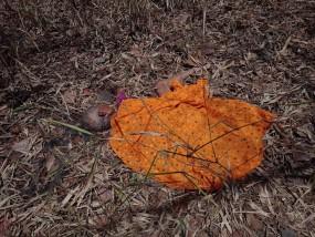 ताड़ोबा जंगल में महुआ फूल चुनने गई बुजुर्ग पर बाघ का हमला, घसीट ले गया काफी दूर तक शव