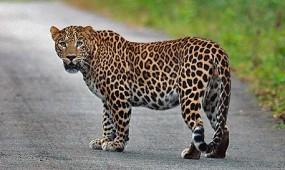 वनकर्मी पर हमला कर जंगल में में भागा तेंदुआ