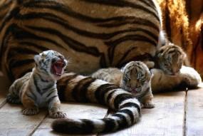 बाघिन ने दिया 4 शावकों को जन्म, दो का रंग सफेद तो दो का पीला