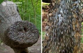 ब्रिटेन में है पैसों से लदा पेड़, 1700 साल पुराने ट्री पर चिपके हैं हर देश के सिक्के
