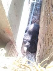 चंद्रपुर के ब्रह्मपुरी में घुसा भालू