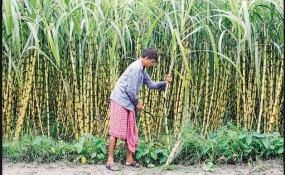 तेजी से घट रहा गन्ना का उत्पादन क्षेत्र, किसान दूसरी फसलों का लेने लगे उत्पादन