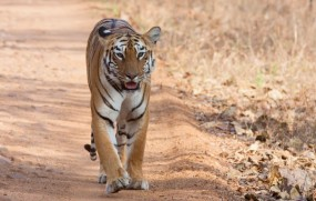 महाराष्ट्र में 190 से 245 हुई बाघो की संख्या, 20 फीसदी हुई बढ़ोतरी