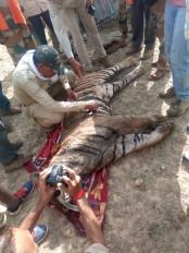 करंट लगाकर किया टाइगर का शिकार -3 आरोपी गिरफ्तार