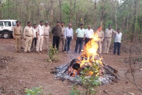 जब्त किए बाघ के अवशेष, किया अंतिम संस्कार, पोतलई में शिकार के मामले में कार्रवाई