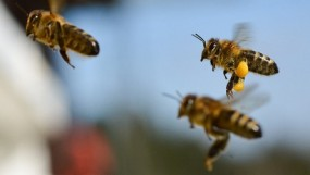 राजगड़ किले के पास 200 लोगों पर कहर बन टूट पड़ी मधुमक्खियां