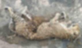 सूखी पेंच नदी में मिला मृत तेंदुआ