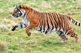 बाघ और जंगली सुअर के हमले में एक की मौत - दूसरा घायल, सड़क हादसे में भी गई दो जाने