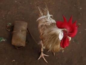 महिला ने कराई मुर्गे के खिलाफ शिकायत दर्ज, की कार्रवाई की मांग