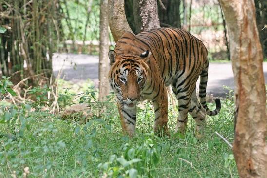 बस्तियों तक पहुंच रहा बाघ, आए दिन हो रहे वन्यजीवों के हमले, लोग दहशत में
