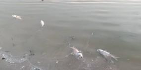 तालाब में मर रहीं मछलियां - जिम्मेदारों का दावा तापमान बढ़ने से ऐंसा हो रहा