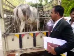 कोर्ट में पेश होकर गाय ने चुना अपना मालिक, राजस्थान के जोधपुर का मामला