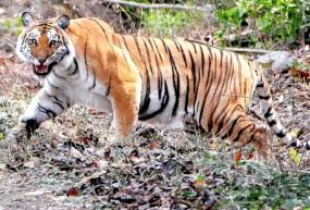 बाघ के हमले से वृद्ध घायल, कुत्तों ने नीलगाय के बछड़े को मारा