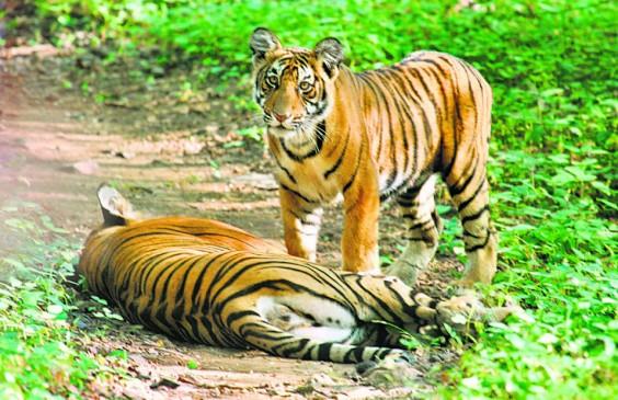 महाराष्ट्र में सबसे अधिक बाघों की मौत,तीन सालों में पूरी नहीं हो पाई मौत की जांच