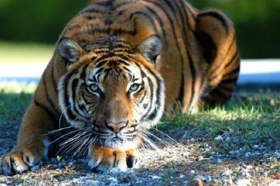 लाइनमैन पर किया बाघ ने हमला, बिजली फॉल्ट सुधारने गई थी पूरी टीम