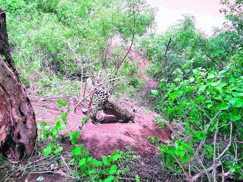 खेत में लगा रखा था ट्रैप , फंसकर तेंदुए की मौत