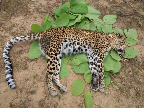 कान्हा में मादा तेंदुआ का शिकार, गारा में जहर मिलाकर की वारदात