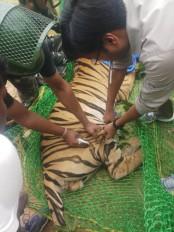 रीवा: गांव में घुसकर बाघ ने फैलाई दहशत, वन विभाग की टीम ने किया ट्रेंकुलाइज