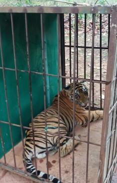 बाड़े में रखकर पाला जाएगा अनाथ हुए मादा बाघ शावक