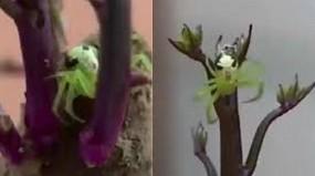वायरल वीडियो: ये है इंसानी चेहरे की तरह दिखने वाली मकड़ी