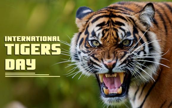 भारत में बढ़े टाइगर, जानिए कैसे और कितने लोगों ने की बाघों की गणना