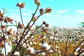 बीटी और एचटीबीटी के विनाश से किसानों को बचाने की उठ रही मांग