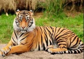 मध्य भारत बाघों का प्राकृतिक आवास, 300 से ज्यादा बाघ